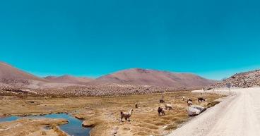 San Pedro de Atacama, Lamas