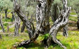 MNE: alter Olivenbaum 1