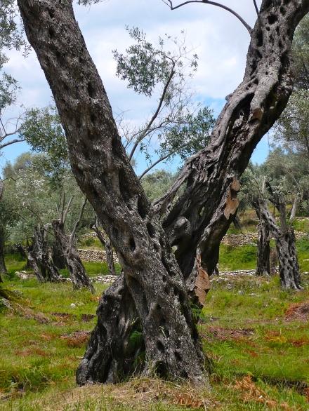 MNE: alter Olivenbaum 2