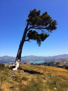 Akaroa, Tree
