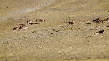 sehr seltene wilde Esel