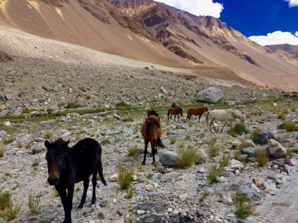 Pangong Valley Horses